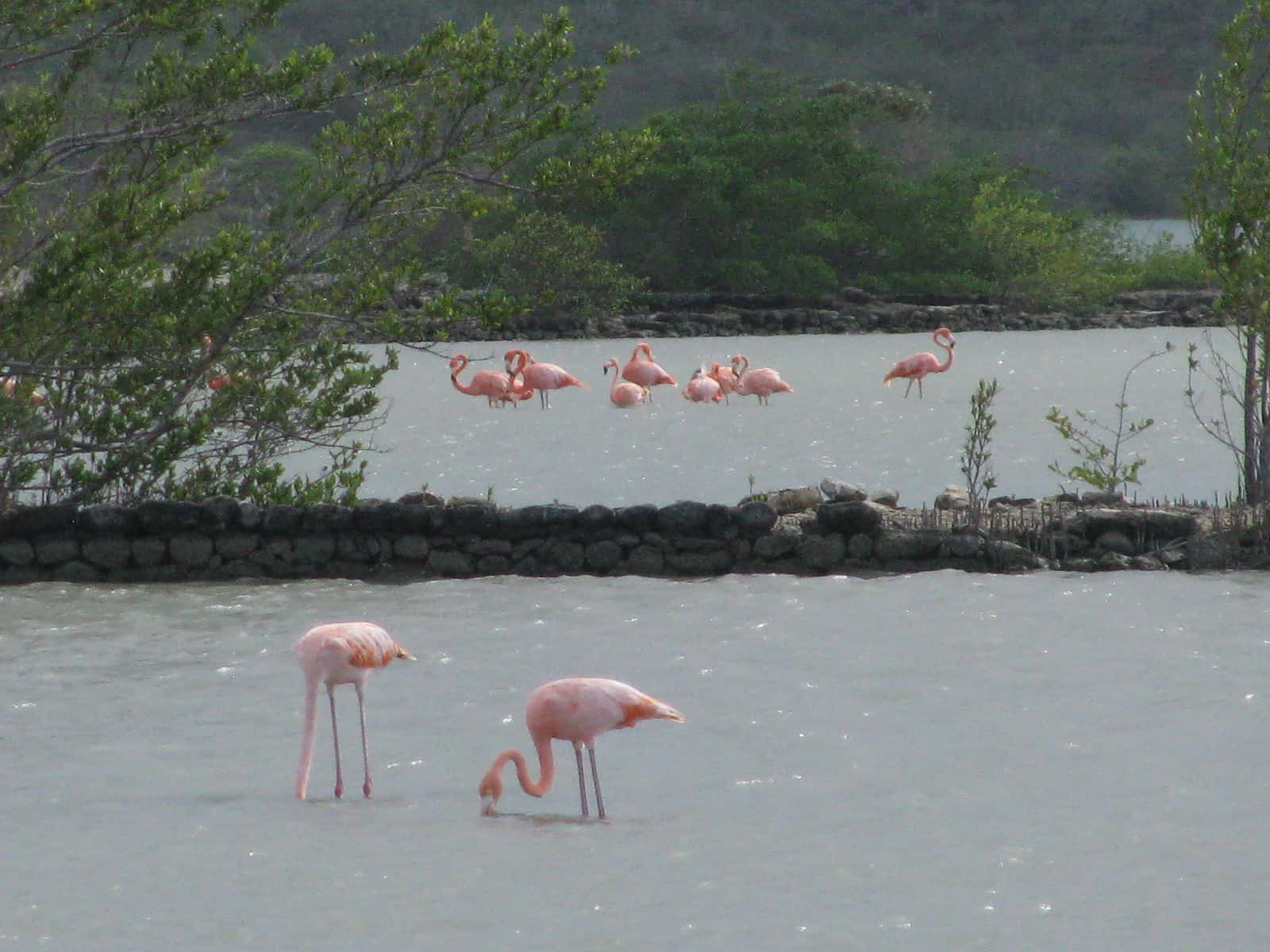 Curacao Island Flamingoes