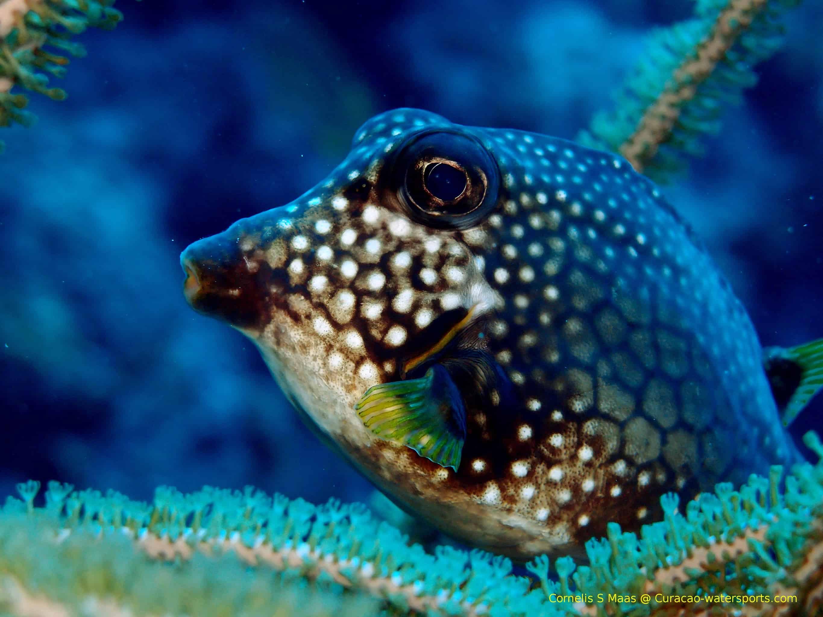 Diving Klein Curaçao Puffer