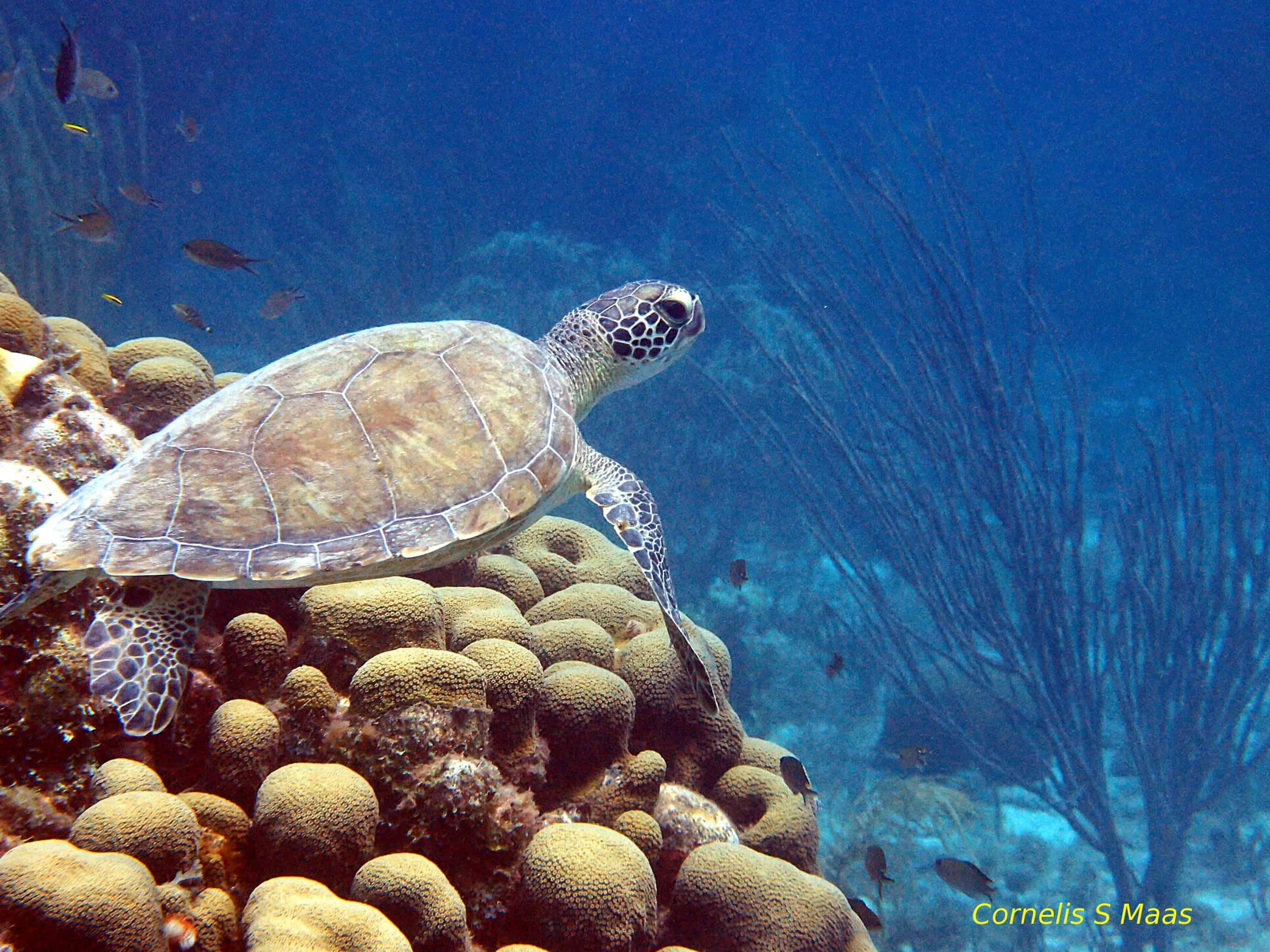 Diving Klein Curaçao Sea Turtle