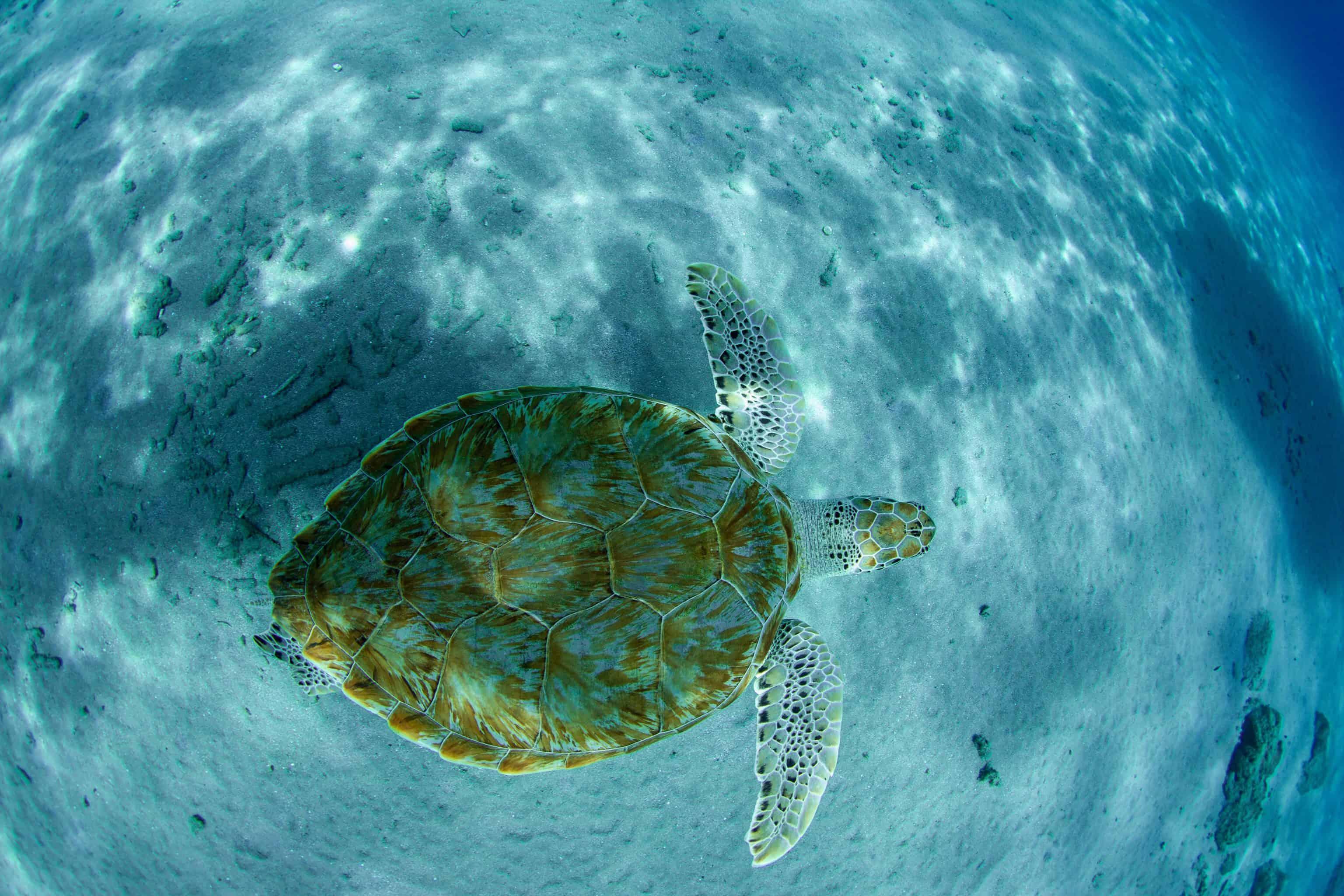 Catamaran Blue C Westpunt Sailing Curacao 5- Sea Turtle Playa Piskado